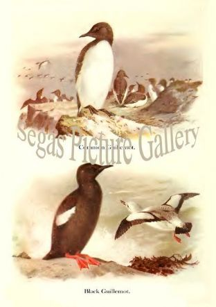 Common Guillemot & Black Guillemot